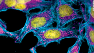 Stained HeLa cells.